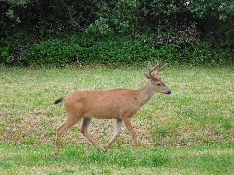 deer-196469_960_720