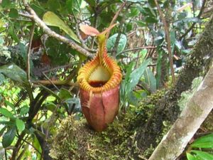 Nepenthes_in_Borneo_Malaysia_001